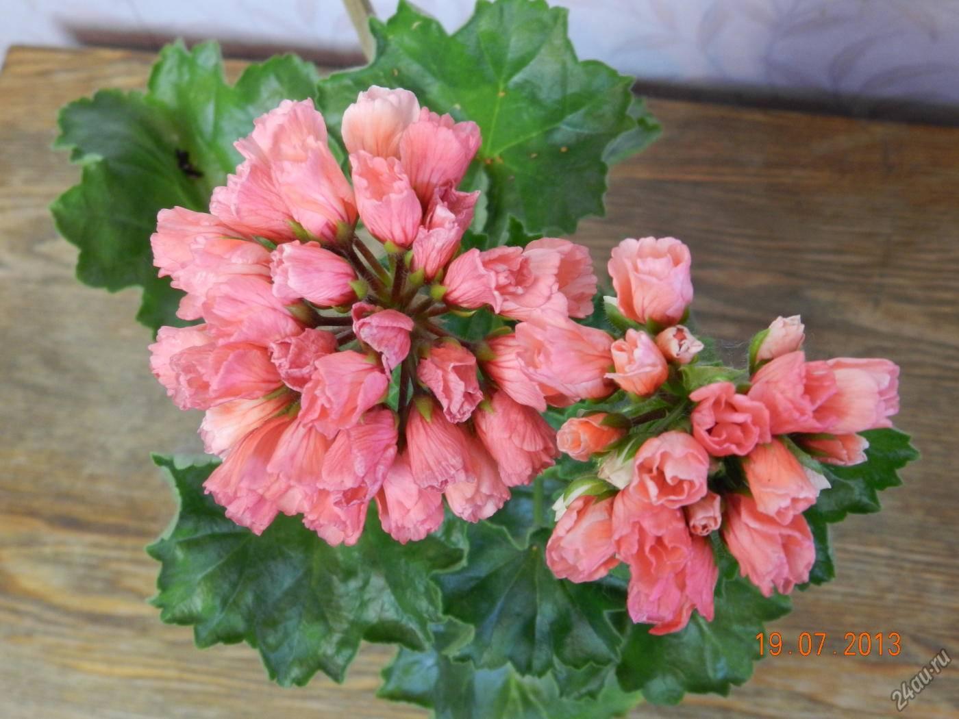 Герань тюльпановидная семена