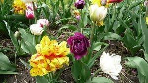 Размножение тюльпанов семенами