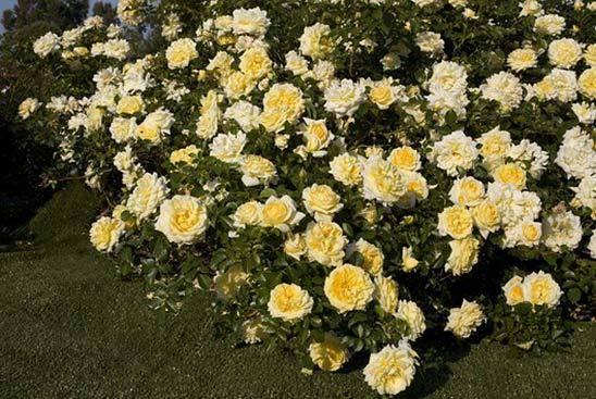 Роза ле катр сезон