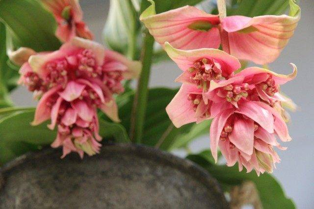 Мединилла цветок