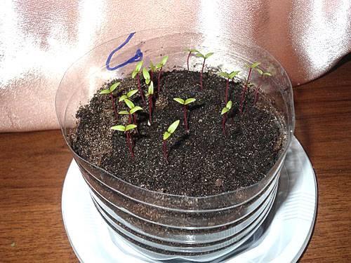 Как размножить каланхоэ черенками