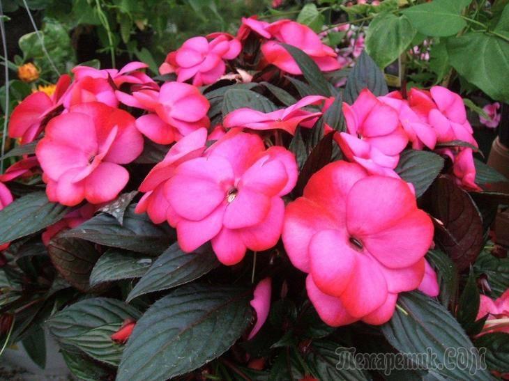 Комнатные большие цветы