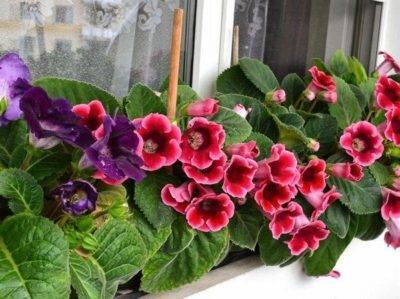Глоксинии уход и выращивание из семян