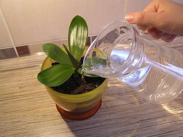 От орхидеи остались только корни что делать