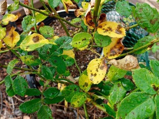 Комнатная роза желтеют и опадают листья