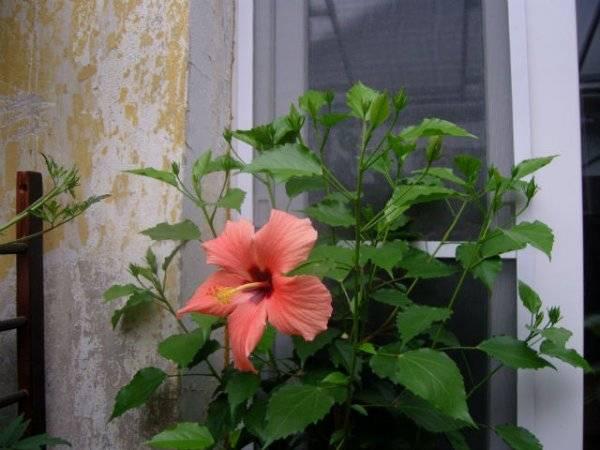 Уход за китайской розой в домашних условиях