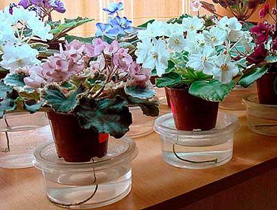 Можно ли пересаживать цветущую фиалку