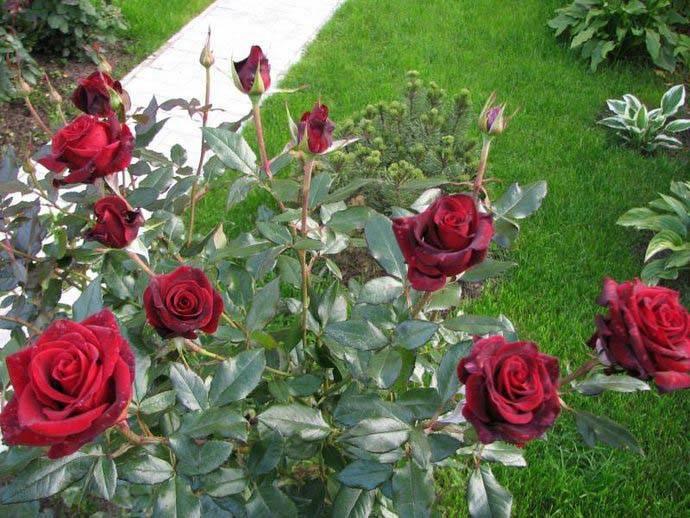 Роза чайно гибридная черная магия