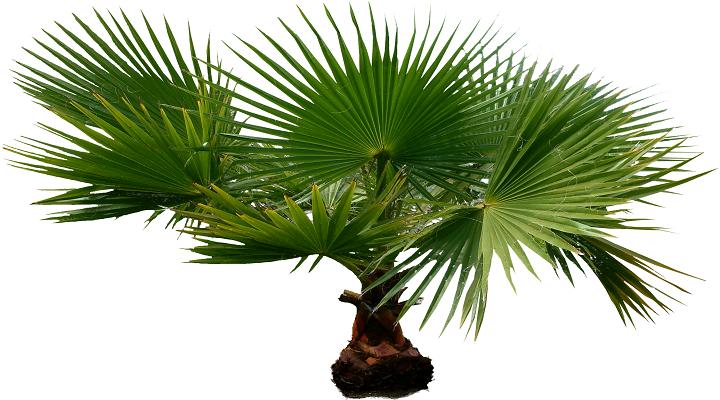 Уход за домашней пальмой