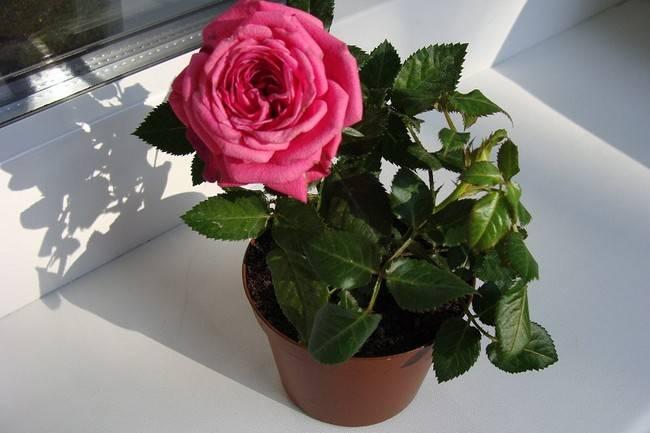 Роза домашняя в горшке