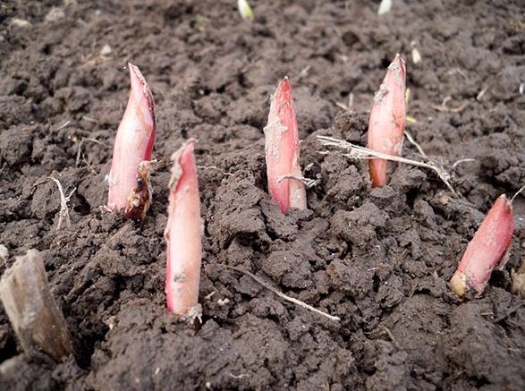 Пионы из семян выращивание