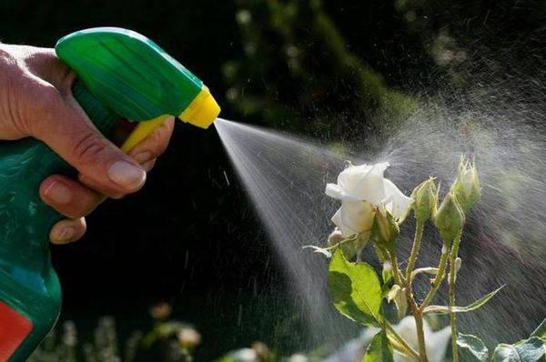 Мучнистая роса на розах лечение