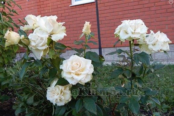 Розы в огороде