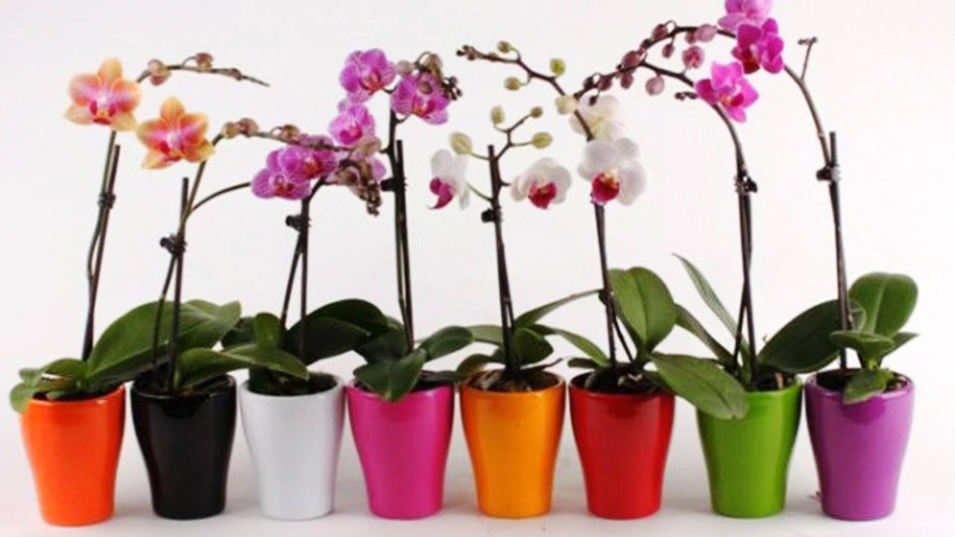 Когда можно пересадить орхидею