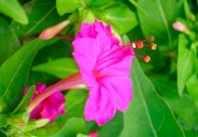 Бугенвиллия выращивание