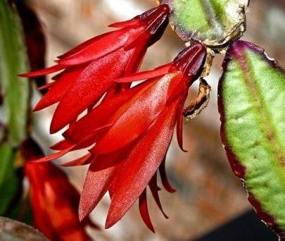 Как заставить цвести декабрист
