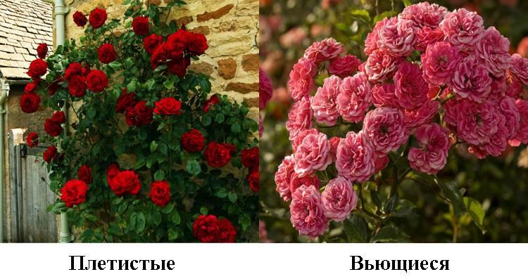 Роза плетистая мелкоцветковая
