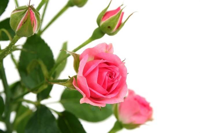 Роза комнатная. Уход.