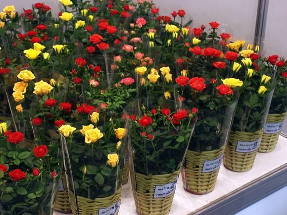 Комнатные розы миниатюрные