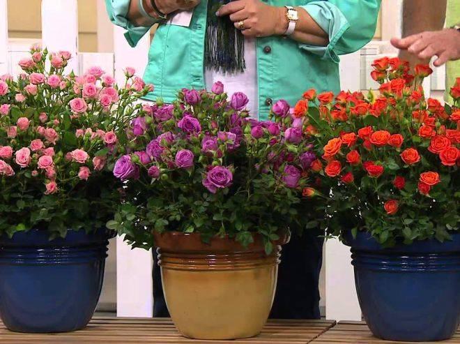 Как обрезать комнатную розу после цветения