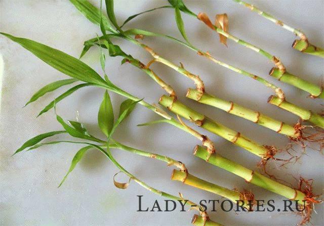 Счастливый бамбук