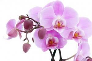 Мучнистая роса на орхидеях лечение