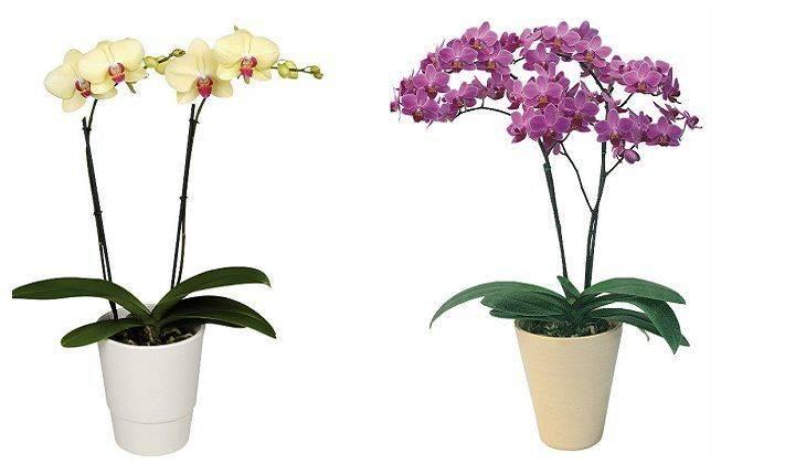 Орхидея комнатный цветок