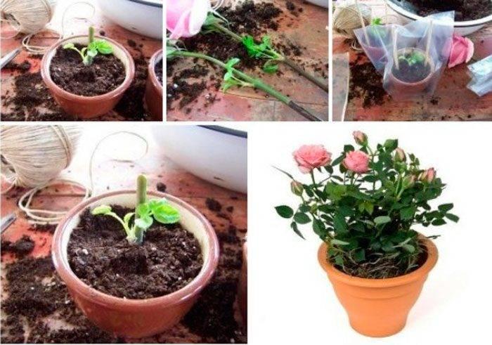 Роза в букете дала ростки как посадить, цветов