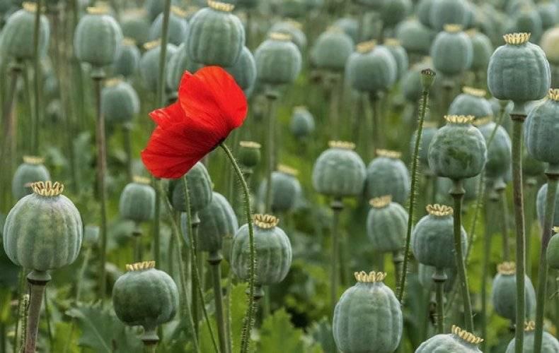 Семена мака опиумного