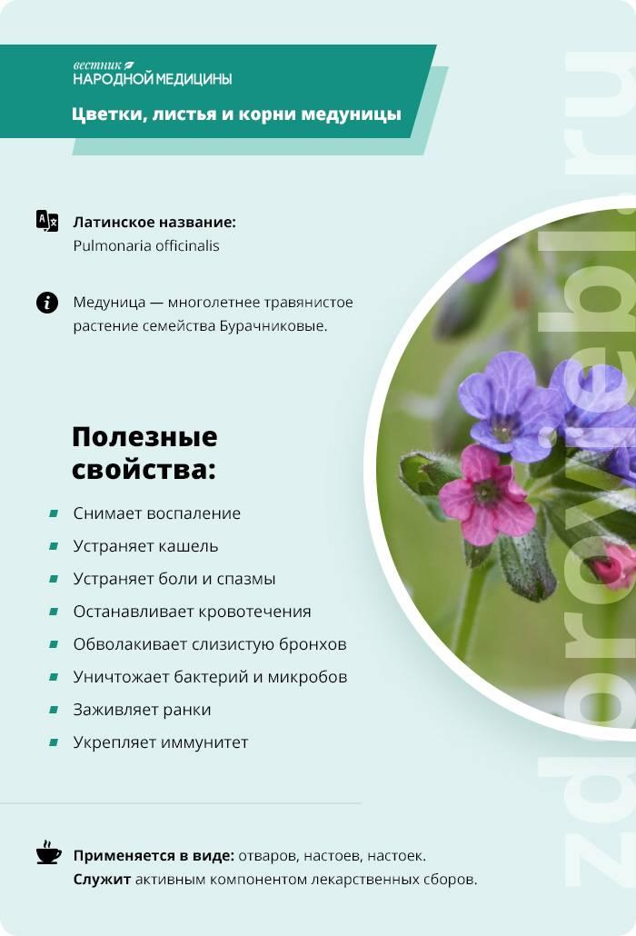 Медуница растение
