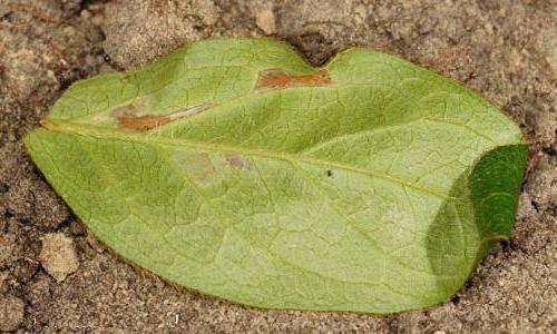 Азалия сбросила листья что делать