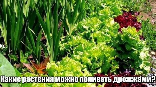 Дрожжевая подкормка для цветов