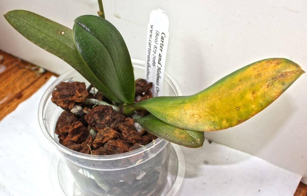 Если у орхидеи желтеют листья