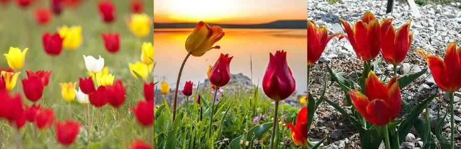 Тюльпаны ранние
