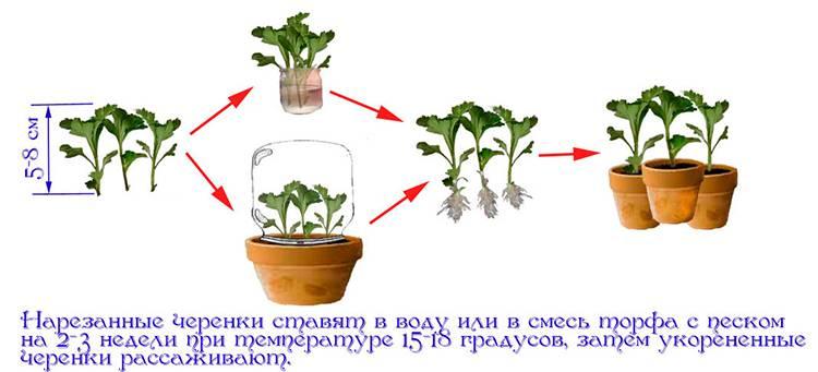 Хризантема кустовая саба