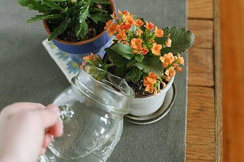 Каланхоэ розалина уход в домашних условиях