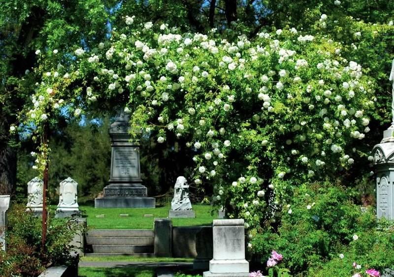 Клаймберы розы