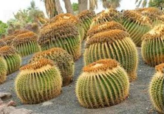 Кактус как размножается