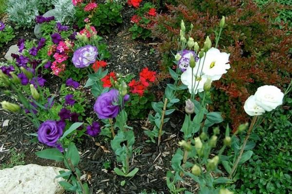 Выращивание эустомы в открытом грунте
