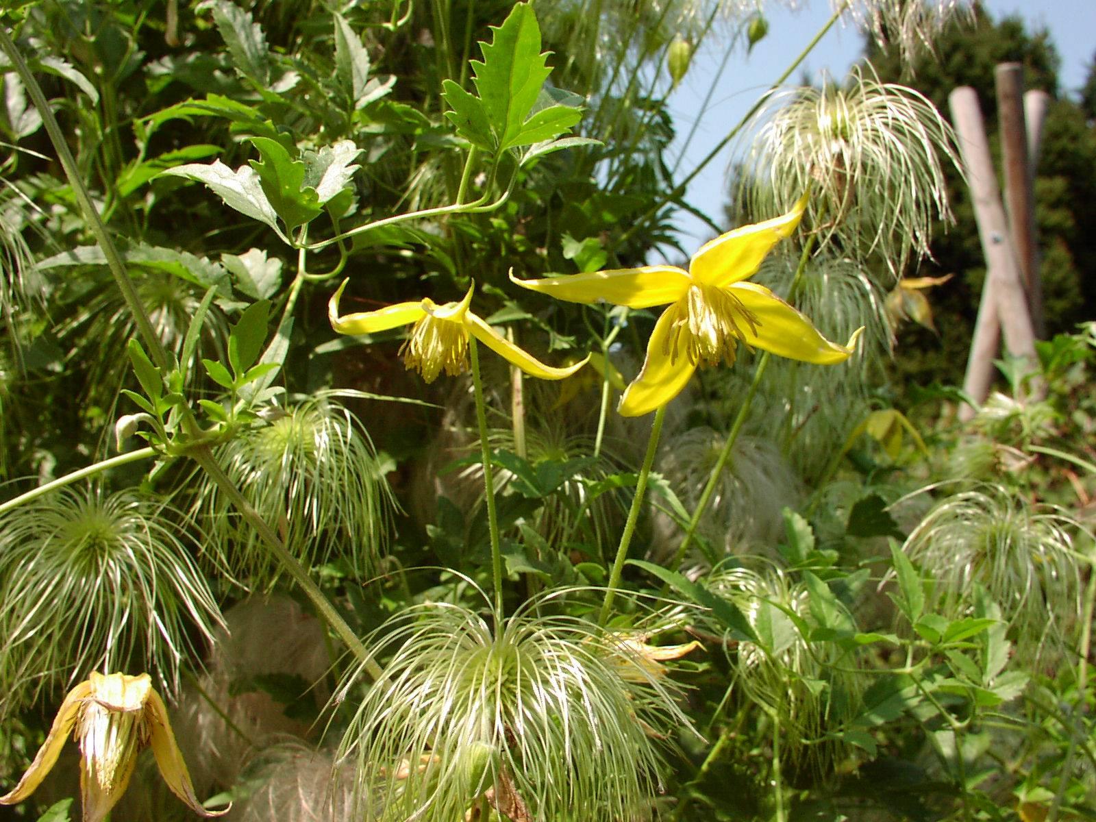Клематис тангутский радар любви выращивание из семян