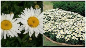 Цветы похожие на ромашки разноцветные как называются
