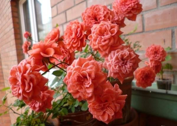 Роза лавендер джевел