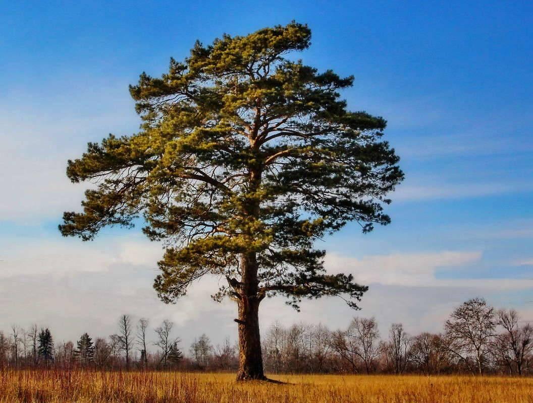 Хвойные деревья названия