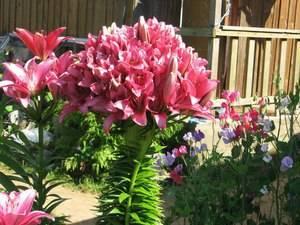 Сорт лилии марлен