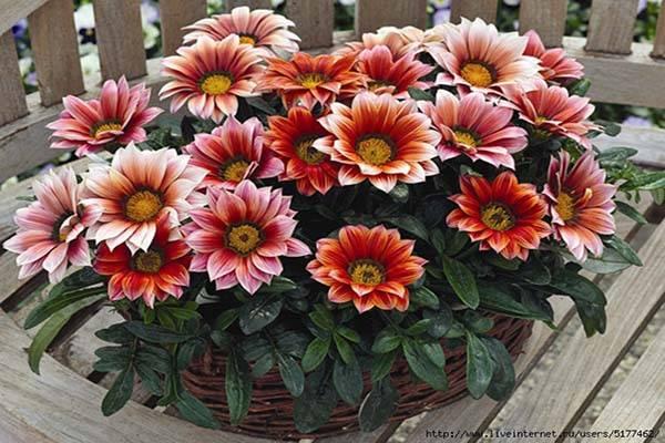 Газания цветы