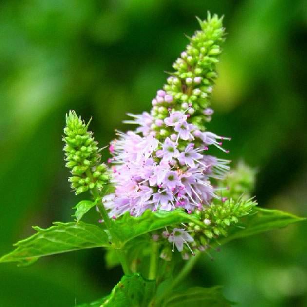 Мята описание растения