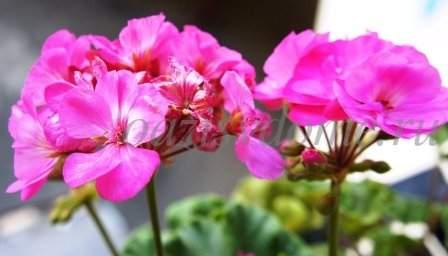 Герань подкормка для пышного цветения