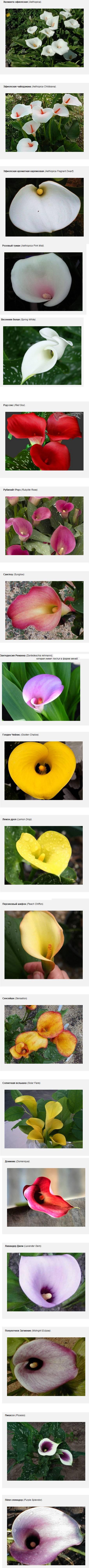 Кала цветы