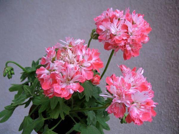 Bonny пеларгония