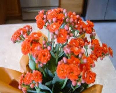 Каланхоэ не цветет и вытягивается